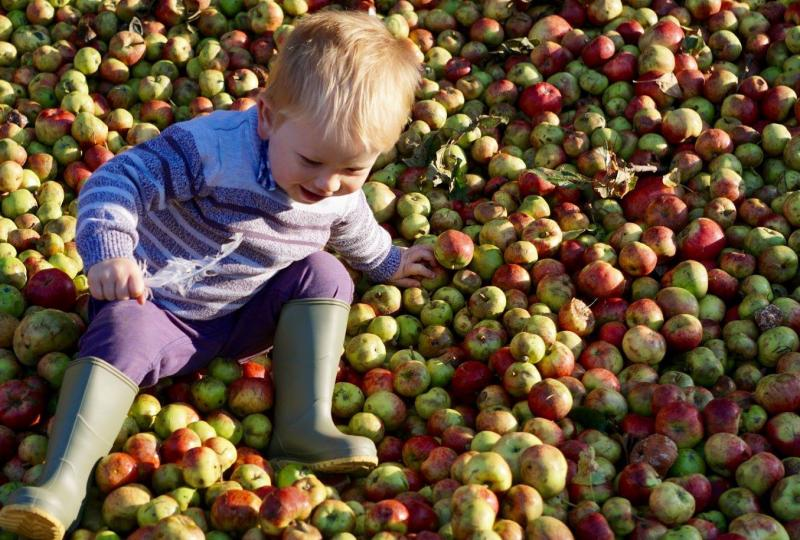 Cider apples galore at Harefield Barn
